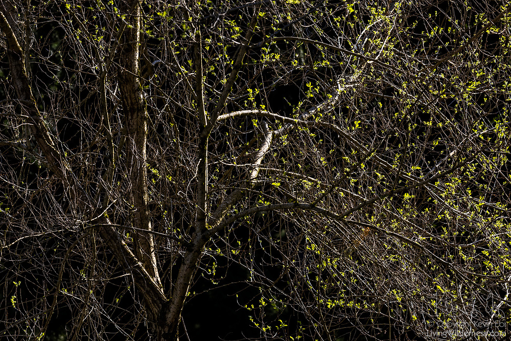 An overgrown Wych elm (Ulmus glabra) begins to grow leaves in the early spring in Snohomish County, Washington.