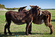 Donkeys mutual grooming and shedding their winter coats in pasture at St Martin de Re, Ile de Re, France