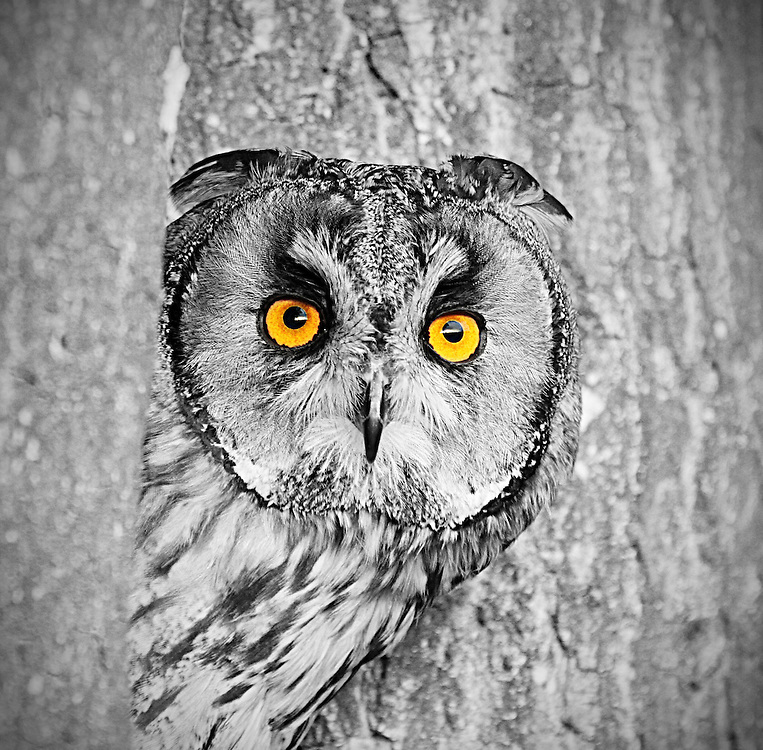 This stunning owl is part of a wildlife collection.
