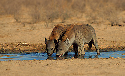 Sept. 29, 2015 - Spotted Hyaenas, drinking, Kalahari Gemsbok Park, South Africa  (Credit Image: © Sator, Whj/DPA via ZUMA Press)