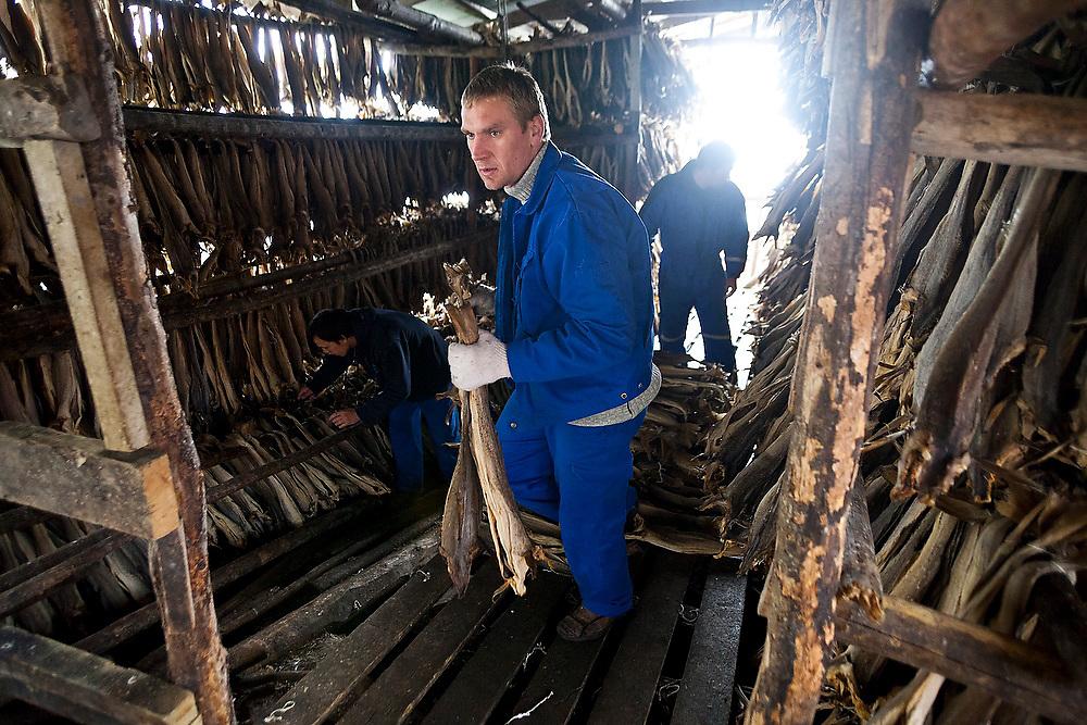 Workers pull stockfish from drying racks in Å, Lofoten Islands, Norway.