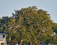 White Ibis (Eudocimus albus). St. Petersburg, Florida. Image taken with a Nikon D300 camera and 200 mm f/2.0 VR lens and 1.7x TC-EII teleconverter