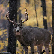 Whitetail Deer, (Odocoileus virginianus) Portrait of buck in forest Fall.