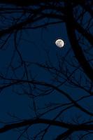 Near full moon through the nighttime trees.