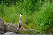 Great blue heron (Ardea herodias)  at Rainbow Falls<br />Whiteshell Provincial Park<br />Manitoba<br />Canada