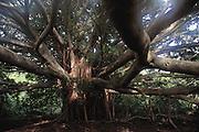 Banyan Tree, Kipahula. Haleakala National Park. Maui, Hawaii. USA.