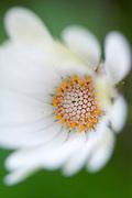 white Daisy Osteospermum