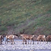Barren Ground Caribou, (Rangifer arcticus) Porcupine herd. Arctic National Wildlife Refuge. ANWR. Kongakut River. Alaska.