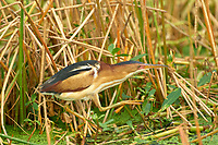 Least Bittern (Ixobrychus exilis) ,  Green Cay Nature Centre, Delray Beach, Florida, USA   Photo: Peter Llewellyn