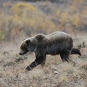 Grizzly in Denali National Park. Alaska. Fall.