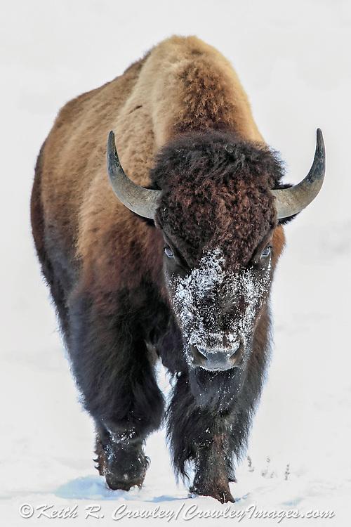 American Bison (Buffalo) in winter Habitat