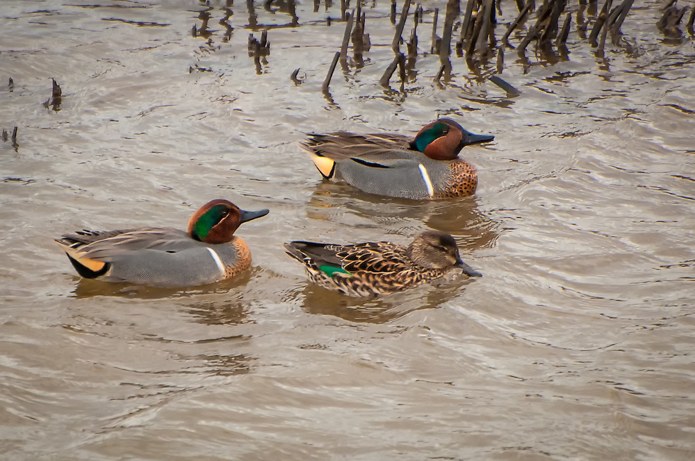 A trio of green-winged teals (two males and a female) seen swimming at the base of the Nisqually River. These smallest of the Pacific Northwest's ducks were photographed in the Nisqually National Wildlife Refuge at the southern tip of the Puget Sound.