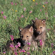 Gray Wolf, (Canis lupus) Pups in field of Shooting Star flowers Montana. Captive Animal.