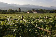 Traditional rack method and vineyards in the wine growing region south-west of Bolzano, South Tyrol, northern Italy.