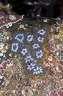Star Ascidian - Botryllus schlosseri