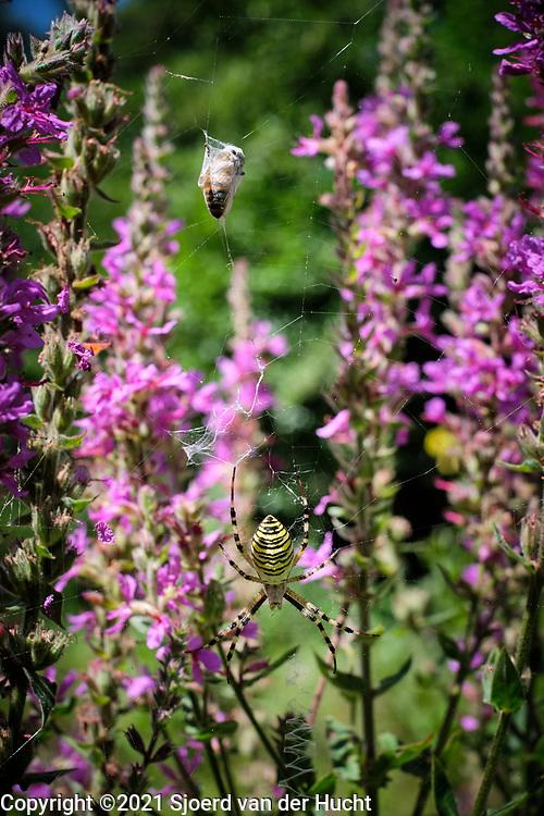 Drôme, Frankrijk - augustus 2021: Gevangen bij in spinnenweb. | Drôme, France - August 2021: Trapped bee in spider web.