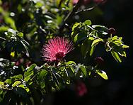 Calliandra tergemina, a red powder puff at St. Rose Nursery, La Mode, St. George's, Grenada, West Indies, Caribbean