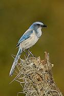 Florida Scrub-Jay - Aphelocoma coerulescens