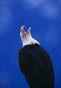 Image of a bald eagle calling, Hailaeetus leucocephalus, the Kenai Peninsula, Alaska, the bald eagle is a bird of prey and national bird and symbol of the United States of America by Randy Wells