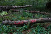 The words Last On(e) written on a log in a north Somerset forest. Undergrowth is still green during a late autumn in this English countryside in the south-west of the country. The land is private and logging allowed to continue. The timber lies on the ground waiting for collection and sawing.