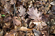 Fallen oak tree leaves forming leaf litter seen from above, UK