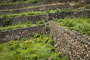 Terraced vineyard for making Passito di Pantelleria, the signature wine of the island of Pantelleria, Sicily, Italy.