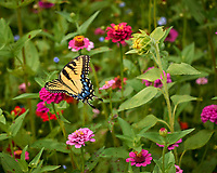 Tiger Swallowtail Butterfly. Image taken with a Leica T camera and 60 mm f/2.8 lens
