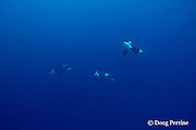 orca, or killer whales, Orcinus orca, underwater, King Bank, New Zealand ( South Pacific Ocean )