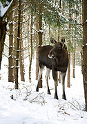 ELK (Female)  Alces alces, EUROPEAN ELK IN A PINE FOREST IN POLAND