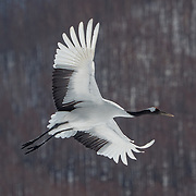 Red-crowned crane, pair in flight. Hokkaido, Japan