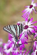 03006-002.01 Zebra Swallowtail (Eurytides marcellus) on Cineraria 'Senetti Magenta Bicolor' (Pericallis) Holmes Co. MS