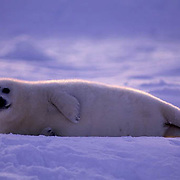 Harp Seal, (Pagophilus groenlandicus) Pup on ice pack illuminated with evening light. Nova Scotia. Canada. Spring.