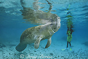 snorkeler and Florida manatees, Trichechus manatus latirostris, Three Sisters Spring, Crystal River, Crystal River National Wildlife Refuge, Crystal River, Florida, USA, North America, MR 257