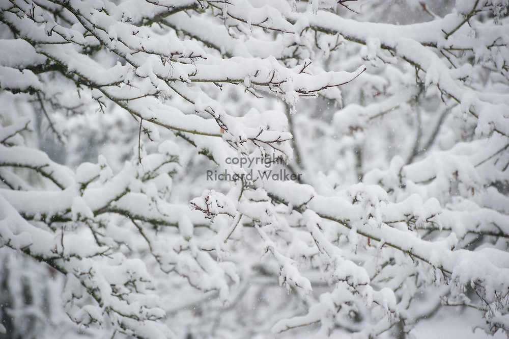 2017 FEBRUARY 06 - Tree branches covered in snow in a West Seattle neighborhood, Seattle, WA, USA. By Richard Walker