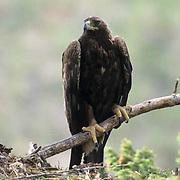 Golden Eagle, (Aquila chrysaetos) Portrait of adult. Southwest, Montana.