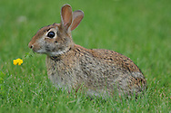 Eastern Cottontail Rabbit sitting in a field eating. Profile shot of entire rabbit.