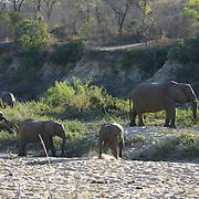 African elephants feeding along the Sand River, Malamala Gam Reserve, South Africa.