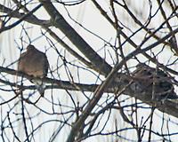 Mourning Dove (Zenaida macrouras). Image taken with a Nikon N1V3 camera and 70-300 mm VR lens.