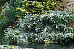 Juniperus squamata 'Blue Carpet' ( Flaky juniper ) spreading on the edge of the pond in John Massey's garden at Ashwood Nurseries in winter