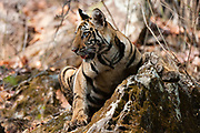 A four month old Bengal tiger cub in the forest, Panthera tigris tigris, Bandhavgarh National Park, India.