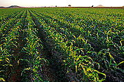 MEXICO, AGRICULTURE, SINALOA STATE fields of corn in rich Pacific coastal plain near Los Mochis