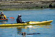 California sea otter, Enhydra lutris nereis ( threatened species ), eats a large shellfish, unconcerned as a kayak passes by, Elkhorn Slough, Moss Landing, California, United States ( Eastern Pacific )