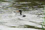 Great cormorant eating a roach in the channel of Noahs Lake, near the hide, at Shapwick Heath.