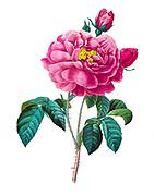 19th-century hand painted Engraving illustration of a Duchess of Orleans Rose bush, by Pierre-Joseph Redoute. Published in Choix Des Plus Belles Fleurs, Paris (1827). by Redouté, Pierre Joseph, 1759-1840.; Chapuis, Jean Baptiste.; Ernest Panckoucke.; Langois, Dr.; Bessin, R.; Victor, fl. ca. 1820-1850.