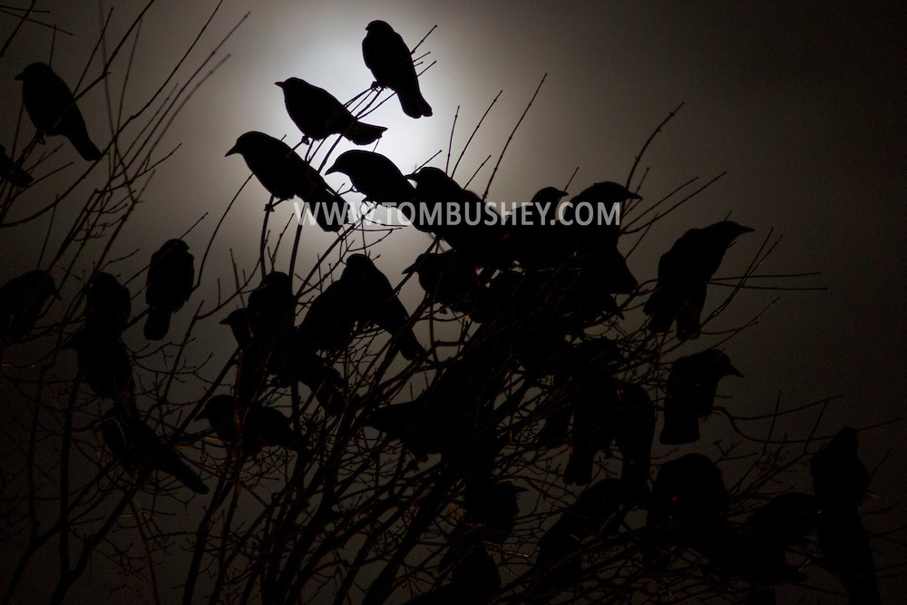 Middletown, New York - Crows gather in the branches of trees as the nearly full moon shines in the background on Dec. 4, 2014.
