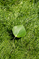 Summer green aspen leaf.