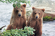 Alaskan Brown bear cubs at Katmai National Park, Alaska.