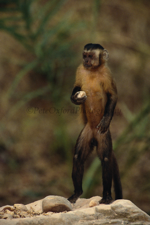 Brown Capuchin Monkey Tool Using<br />Cebus Apella<br />Standing on anvil with palm nut in hand.  They use the rocks to crack open the nuts