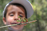 Curious and excited young boy studies a Green praying mantis (Sphodromantis viridis). Photographed in the Hanita Forest, Galilee, Israel in September Model release available