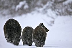 Grizzly sow 399 and two cubs in snowstorm<br /> <br /> Contact for custom print options or inquiries about stock usage  - dh@theholepicture.com